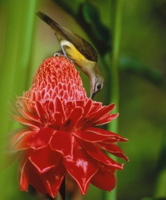 The Thai photographer captured this beautiful bird sipping nectar from a flower in paradise, Dtao Dum Forest